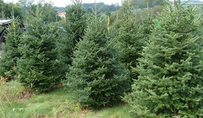 ROMSILVA oferă spre vânzare peste 65000 de pomi autohtoni de Crăciun
