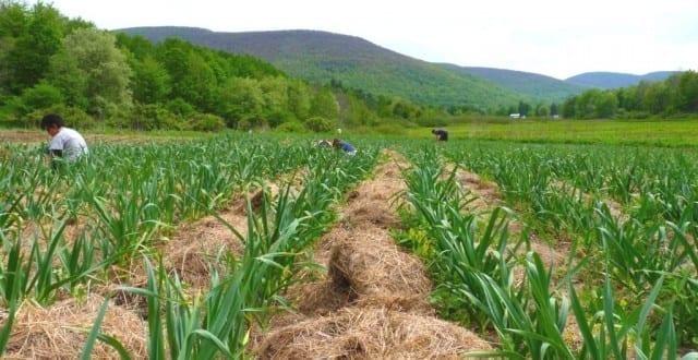 - usturoi 640x330 - Ministerul agriculturii declară război usturoiului chinezesc: Cultivatorii locali ar putea fi sprijiniți cu 1.000 de euro pe hectar, ca să se impună pe piață