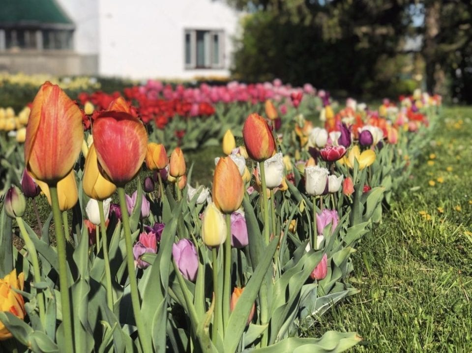 - lalele 1024x766 960x718 - 30.000 de lalele colorează Grădina Botanică din Cluj