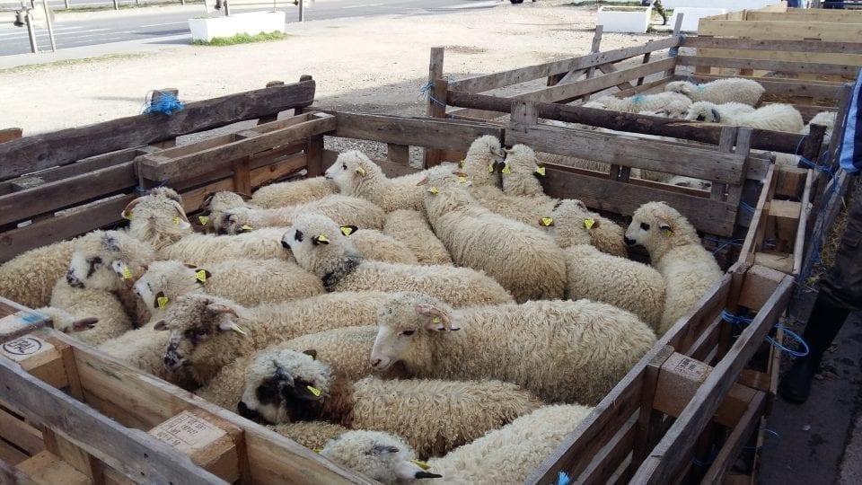 - Miei 960x540 - Fermierii vor putea sacrifica mieii de Paște și în ferme, în anumite condiții