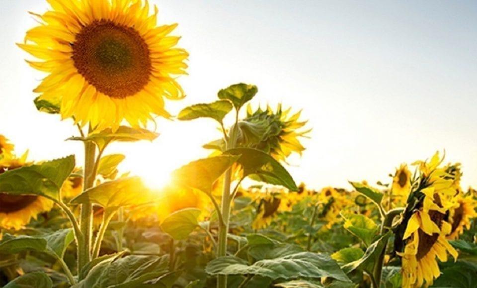 - cultura floarea soarelui 960x579 - România s-a situat în 2019 pe primul loc în UE la suprafața cultivată, dar și la producția de porumb boabe și floarea-soarelui