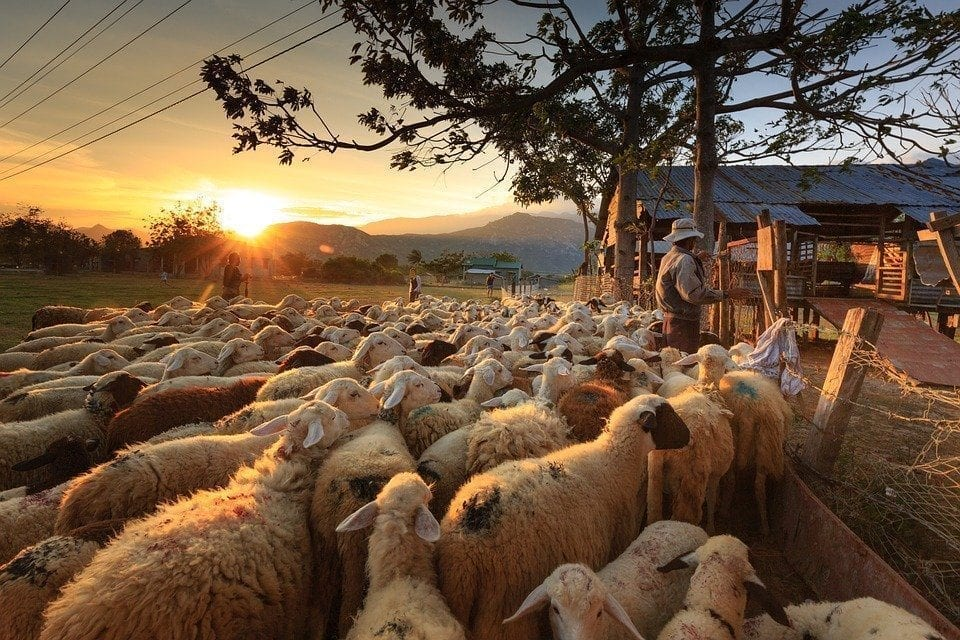- animale oi 960x640 - APIA efectuează plata ajutorului de stat în sectorul creşterii animalelor